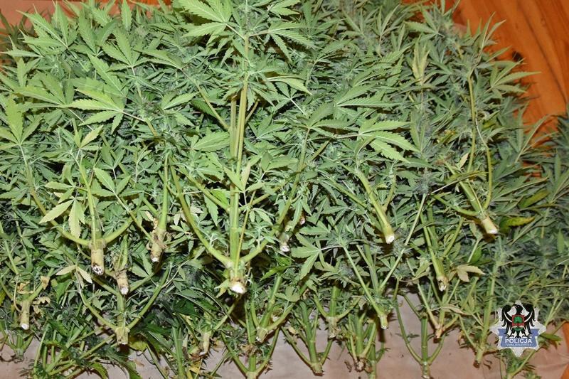 Mieli 220 krzaków konopi iprawie 10 tys. porcji narkotyków